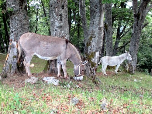 Photograph of Pack donkey and mule at the Habert Chamechaude