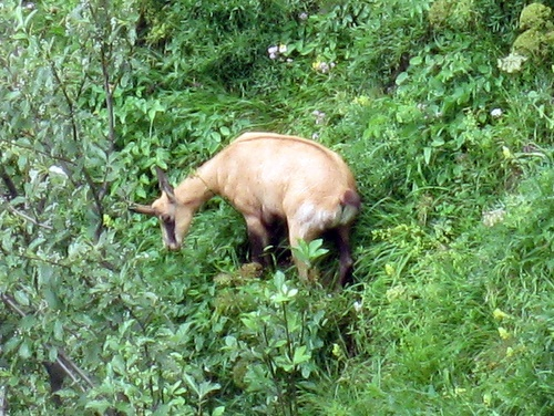 Photograph of Chamois (Rupicapra rupicapra cartusiana) grazing on the eastern flanks of the Dent de Crolles