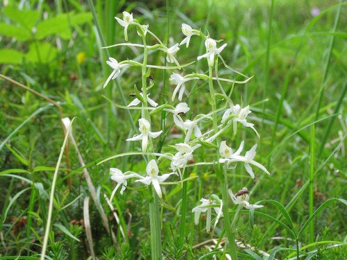 Photograph of Lesser Butterfly Orchid - Platanthera bifolia