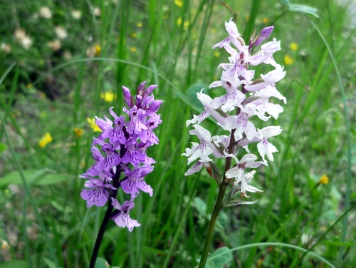 Photograph of Common Spotted Orchids - Dactylorhiza fuchsii