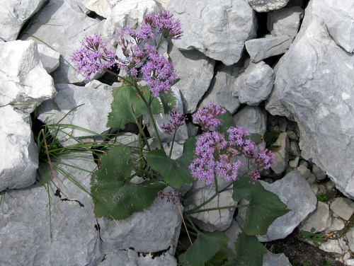 Photograph of Three Leaved Valerian - Valeriana tripteris
