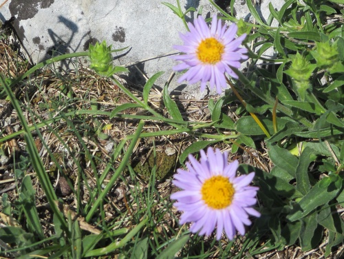 Photograph of Alpine aster - Aster alpinus