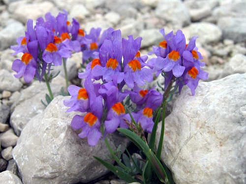 Photograph of Alpine Toadflax - Linaria alpina