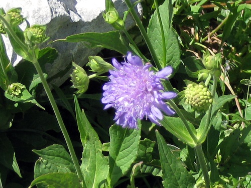 Photograph of Wood Scabious - Scabiosa sylvatica