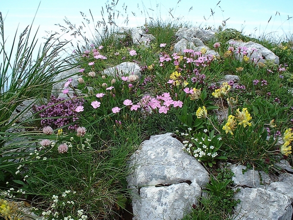Photograph of flowers on the summit ridge of Grand Som