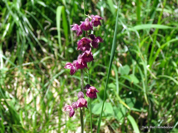 Photograph of a Dark Red Helleborine seen on the Grande Sure
