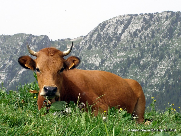 Photograph of a tarine cow chewing the cud near the Habert de la Dame