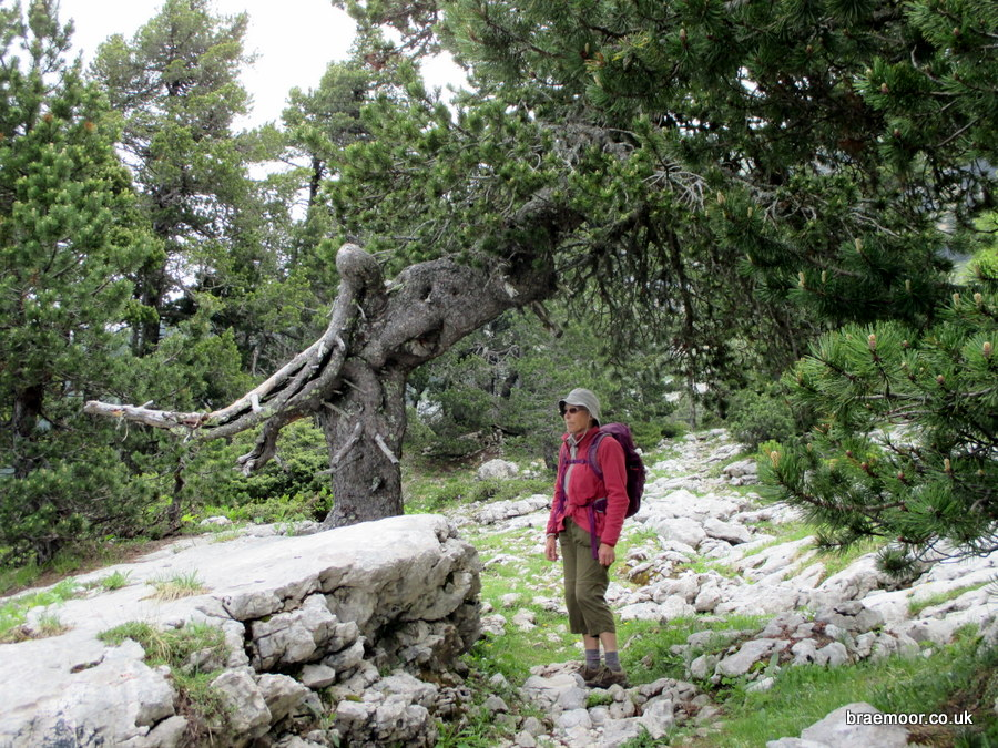 The characteristic pine tree on the GR9 which marks the route to the cave